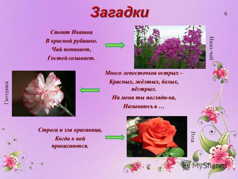Иван-чай Роза Гвоздика 6