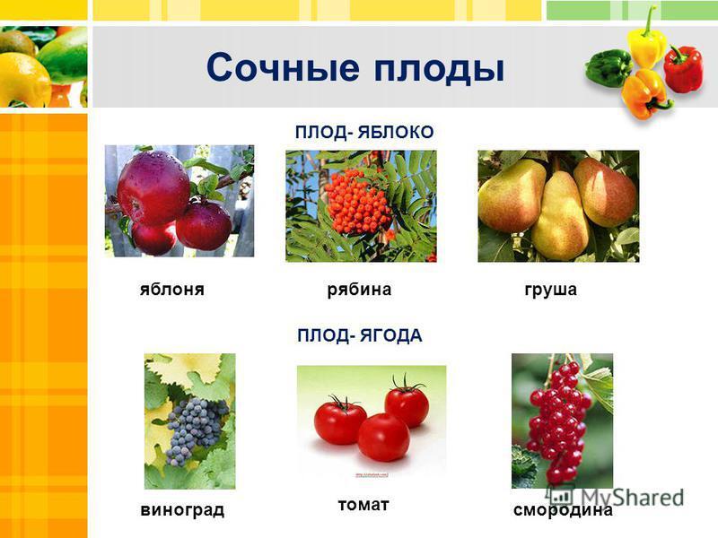 Сочные плоды Text Txt ПЛОД- ЯБЛОКО ПЛОД- ЯГОДА смородина томат виноград груша яблоня рябина