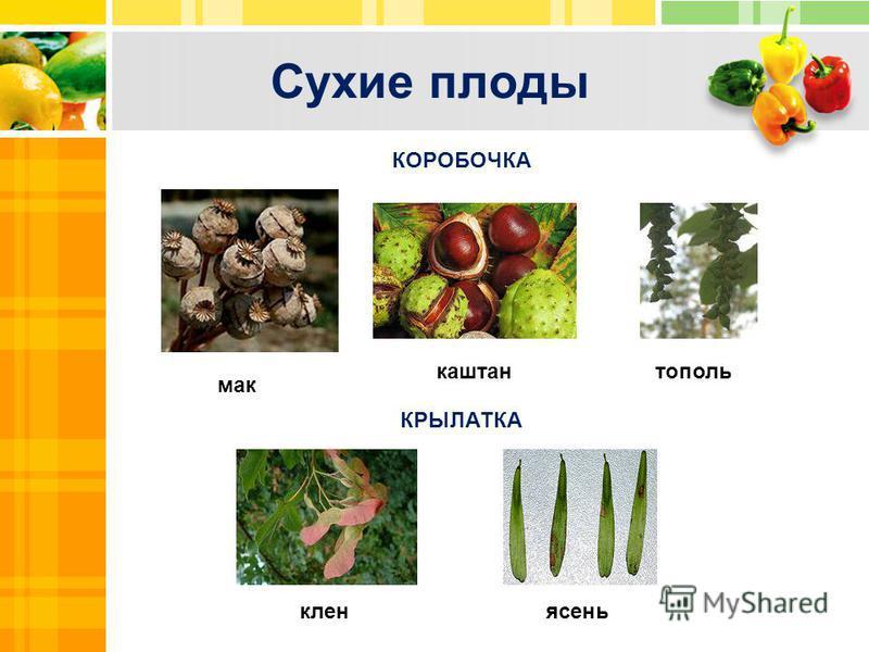 Сухие плоды Text Txt КОРОБОЧКА КРЫЛАТКА клен ясень мак каштан тополь