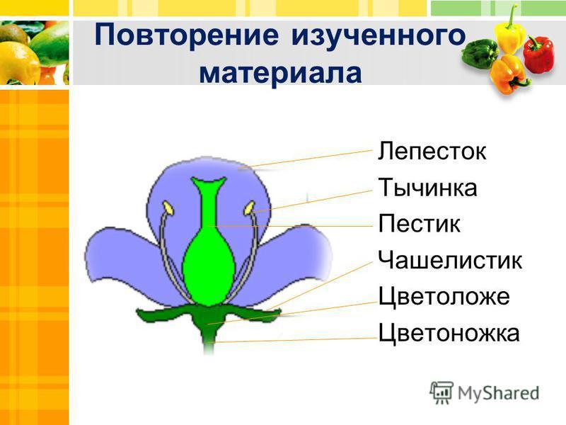 Лепесток Тычинка Пестик Чашелистик Цветоложе Цветоножка