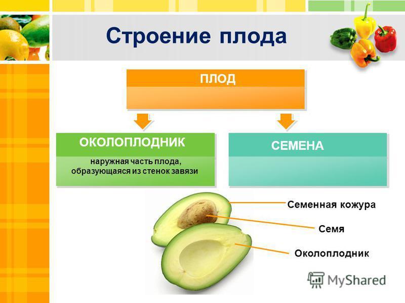 Строение плода наружная часть плода, образующаяся из стенок завязи ПЛОД СЕМЕНА ОКОЛОПЛОДНИК Title in here Семенная кожура Семя Околоплодник