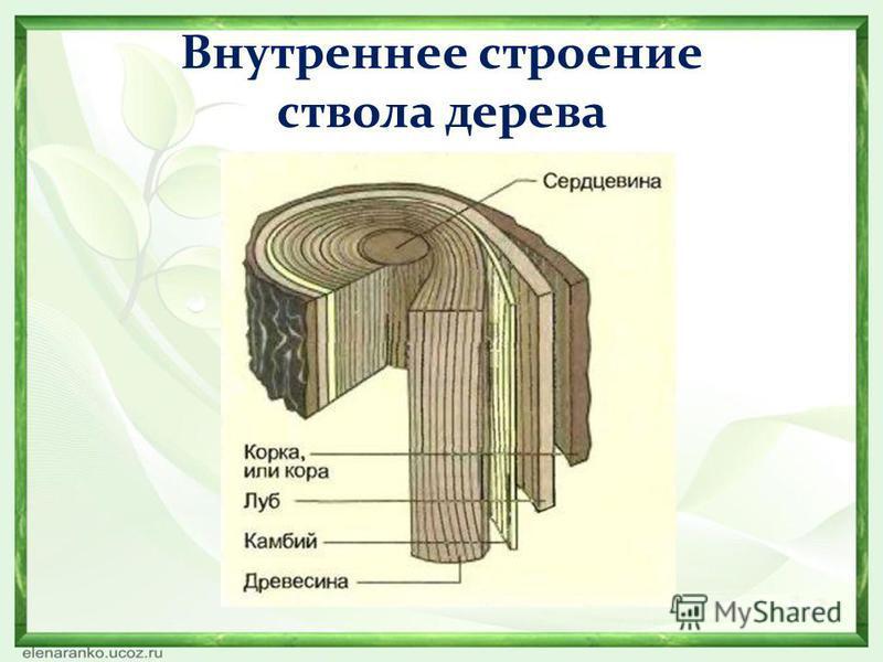 Внутреннее строение ствола дерева