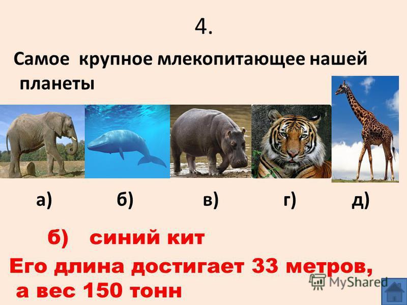 4. Самое крупное млекопитающее нашей планеты а) б) в) г) д) б) синий кит Его длина достигает 33 метров, а вес 150 тонн