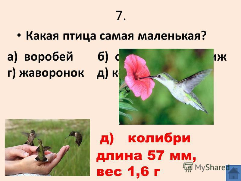 7. Какая птица самая маленькая? а) воробей б) синица в) стриж г) жаворонок д) колибри д) колибри длина 57 мм, вес 1,6 г