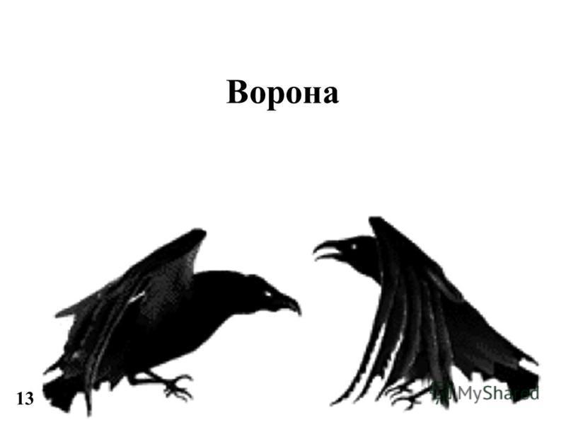 Ворона 13
