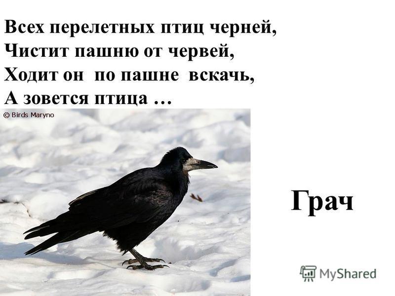 Всех перелетных птиц черней, Чистит пашню от червей, Ходит он по пашне вскачь, А зовется птица … Грач