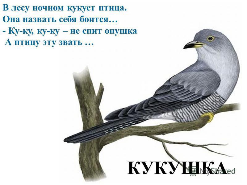 В лесу ночном кукует птица. Она назвать себя боится… - Ку-ку, ку-ку – не спит опушка А птицу эту звать … КУКУШКА