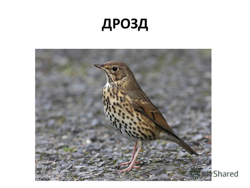 ДРОЗД