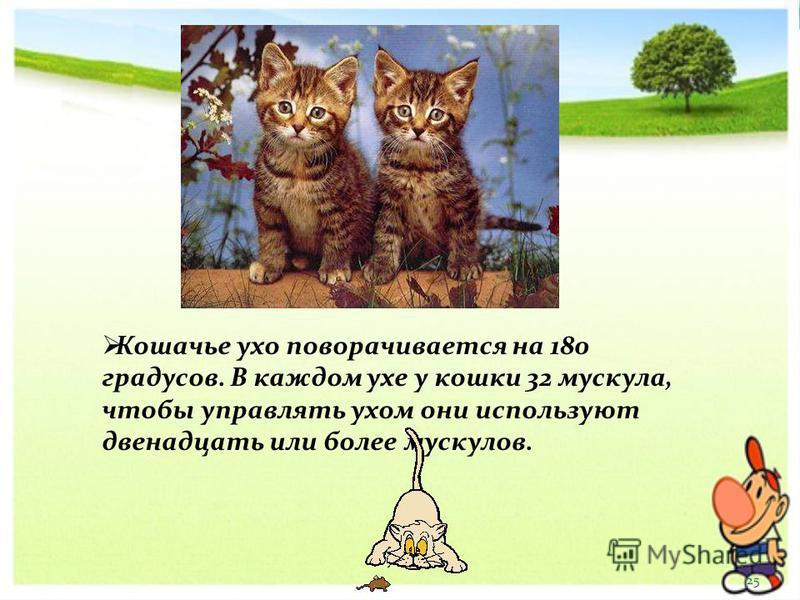 Кошачье ухо поворачивается на 180 градусов. В каждом ухе у кошки 32 мускула, чтобы управлять ухом они используют двенадцать или более мускулов. 25