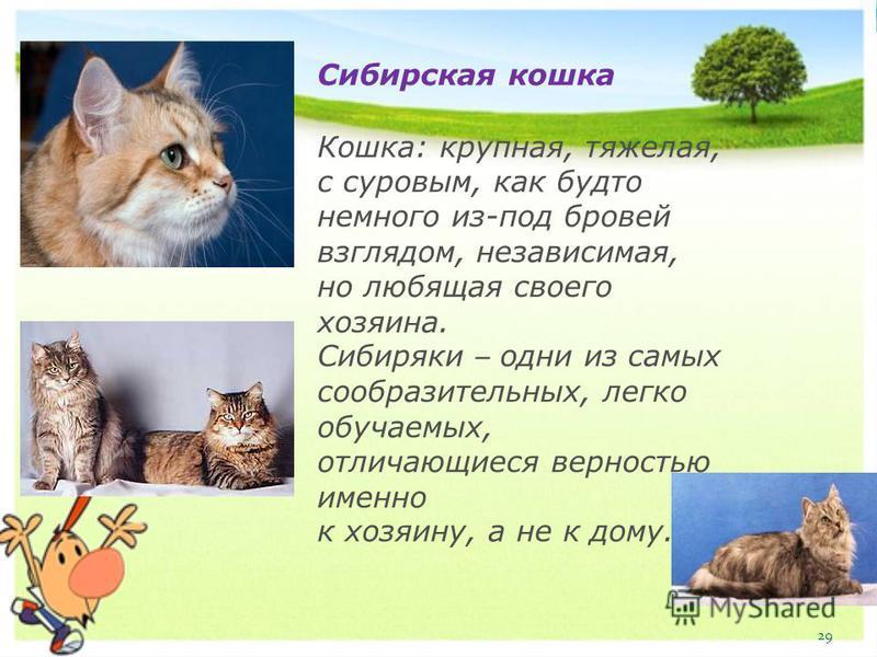 Сибирская кошка Кошка: крупная, тяжелая, с суровым, как будто немного из-под бровей взглядом, независимая, но любящая своего хозяина. Сибиряки – одни из самых сообразительных, легко обучаемых, отличающиеся верностью именно к хозяину, а не к дому. 29