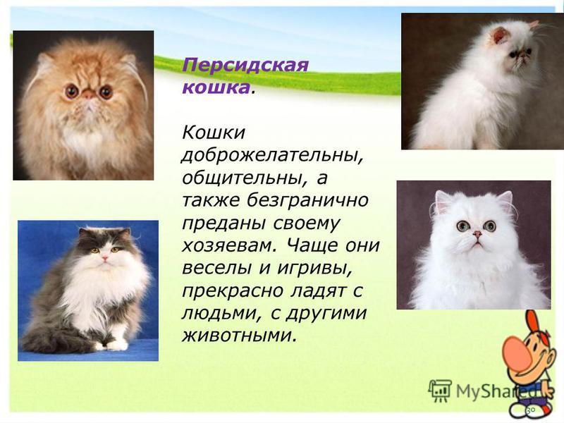 Персидская кошка. Кошки доброжелательны, общительны, а также безгранично преданы своему хозяевам. Чаще они веселы и игривы, прекрасно ладят с людьми, с другими животными. 30