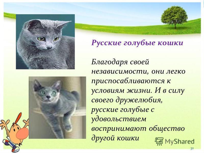 Русские голубые кошки Благодаря своей независимости, они легко приспосабливаются к условиям жизни. И в силу своего дружелюбия, русские голубые с удовольствием воспринимают общество другой кошки 32