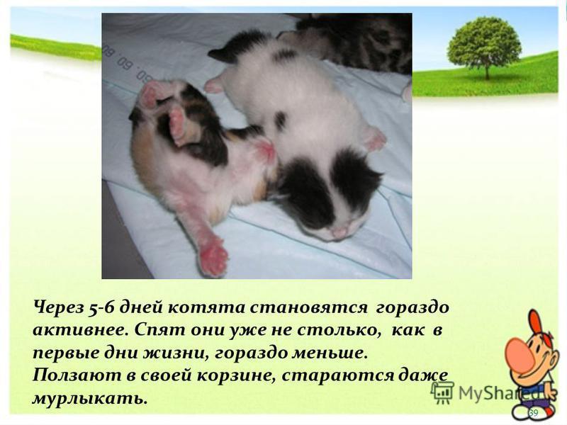 Через 5-6 дней котята становятся гораздо активнее. Спят они уже не столько, как в первые дни жизни, гораздо меньше. Ползают в своей корзине, стараются даже мурлыкать. 39