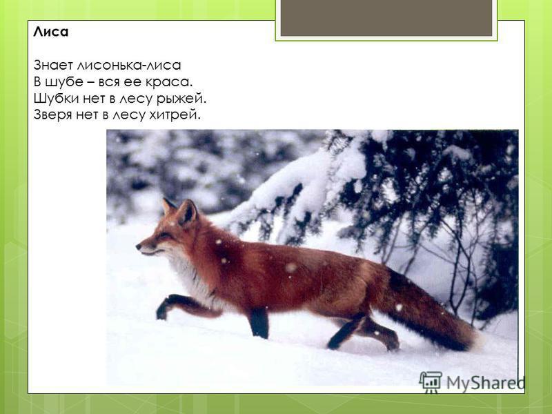Лиса Знает лисонька-лиса В шубе – вся ее краса. Шубки нет в лесу рыжей. Зверя нет в лесу хитрей.