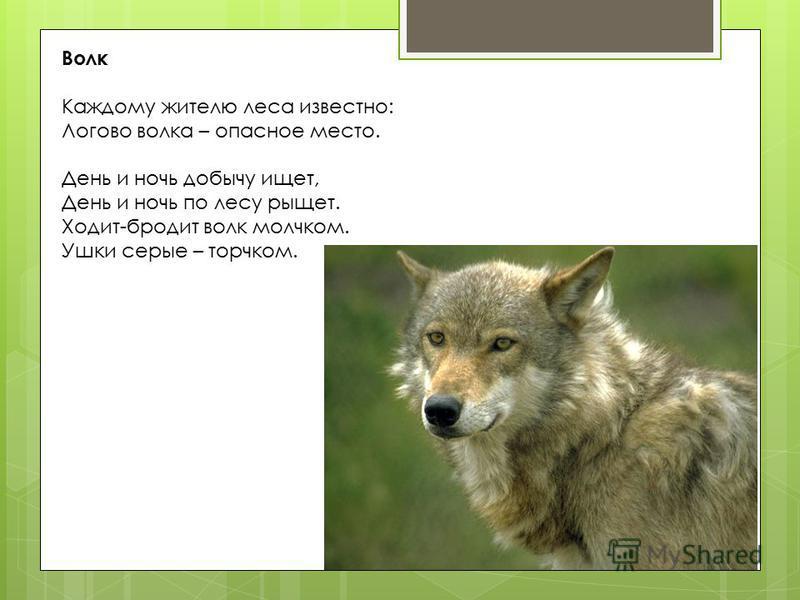 Волк Каждому жителю леса известно: Логово волка – опасное место. День и ночь добычу ищет, День и ночь по лесу рыщет. Ходит-бродит волк молчком. Ушки серые – торчком.