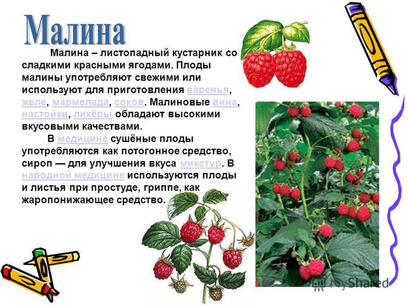 Малина – листопадный кустарник со сладкими красными ягодами. Плоды малины употребляют свежими или используют для приготовления варенья, желе, мармелада, соков. Малиновые вина, настойки, ликёры обладают высокими вкусовыми качествами. В медицине сушёны