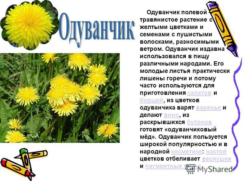 Одуванчик полевой – травянистое растение с желтыми цветками и семенами с пушистыми волосками, разносимыми ветром. Одуванчик издавна использовался в пищу различными народами. Его молодые листья практически лишены горечи и потому часто используются для