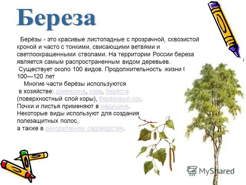 Берёзы - это красивые листопадные с прозрачной, сквозистой кроной и часто с тонкими, свисающими ветвями и светлоокрашенными стволами. На территории России береза является самым распространенным видом деревьев. Существует около 100 видов. Продолжитель