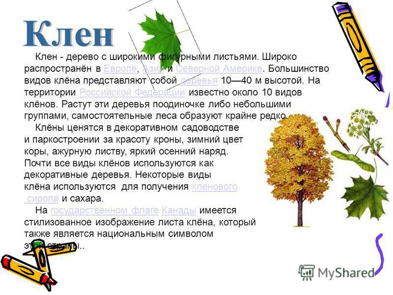 Клен - дерево с широкими фигурными листьями. Широко распространён в Европе, Азии и Северной Америке. Большинство видов клёна представляют собой деревья 1040 м высотой. На территории Российской Федерации известно около 10 видов клёнов. Растут эти дере