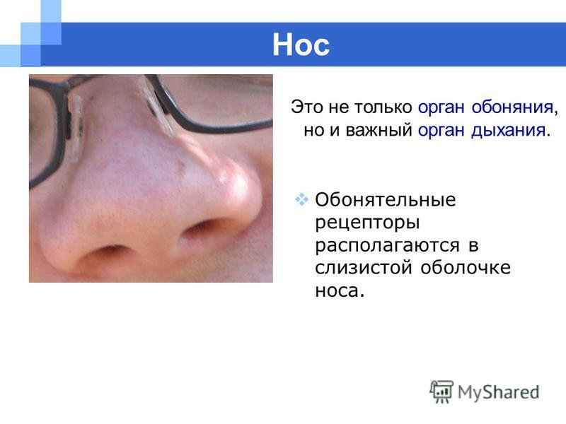 Company name www.themegallery.com Нос Обонятельные рецепторы располагаются в слизистой оболочке носа. Это не только орган обоняния, но и важный орган дыхания.