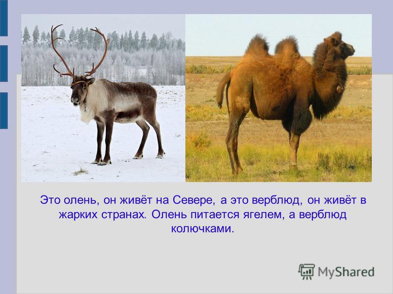 Это олень, он живёт на Севере, а это верблюд, он живёт в жарких странах. Олень питается ягелем, а верблюд колючками.