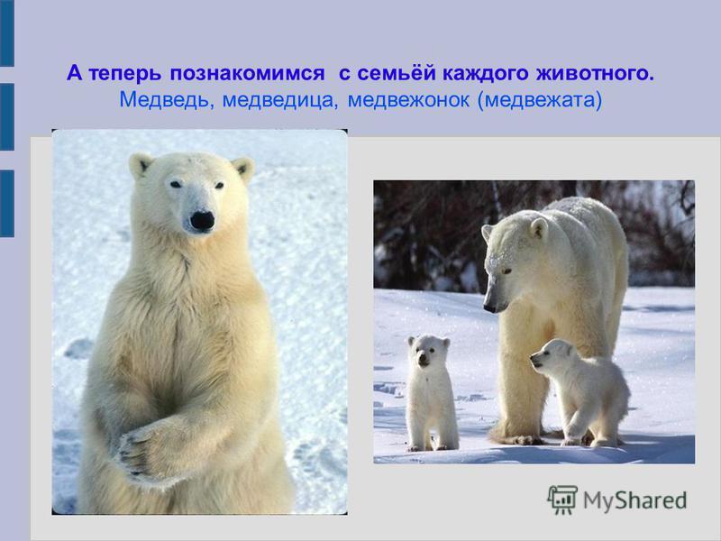 А теперь познакомимся с семьёй каждого животного. Медведь, медведица, медвежонок (медвежата)