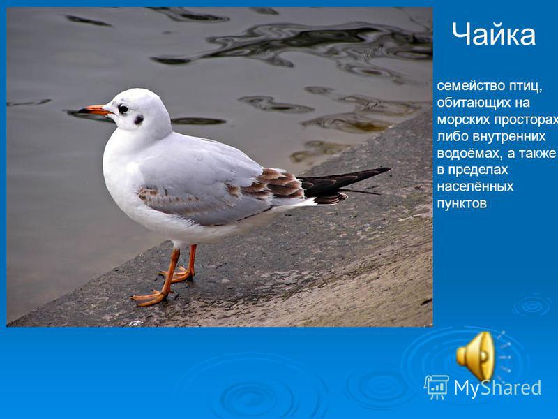 Чайка семейство птиц, обитающих на морских просторах либо внутренних водоёмах, а также в пределах населённых пунктов