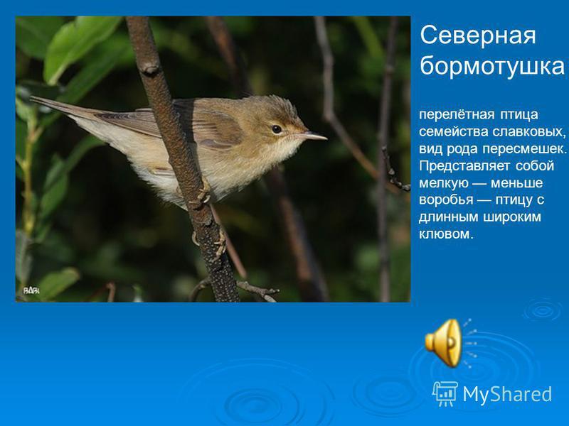 Северная бормотушка перелётная птица семейства славковых, вид рода пересмешек. Представляет собой мелкую меньше воробья птицу с длинным широким клювом.