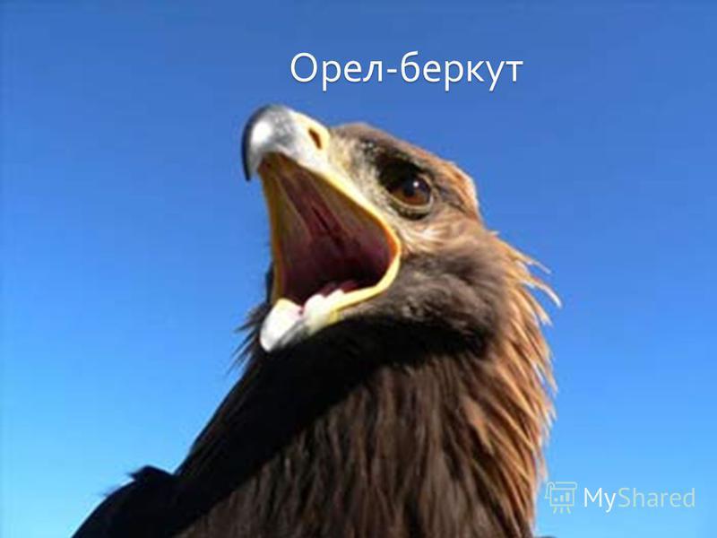 Орел - беркут