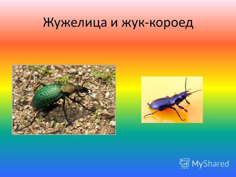 Жужелица и жук-короед