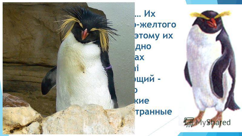Золотоволосые пингвины… Их отличительная черта - ярко-желтого цвета гребень на голове. Поэтому их вид так и назван. Есть еще одно предположение, что в странах Англии их называют Macaroni Penguin, в переводе означающий - «пингвин-франт». Несколько сто