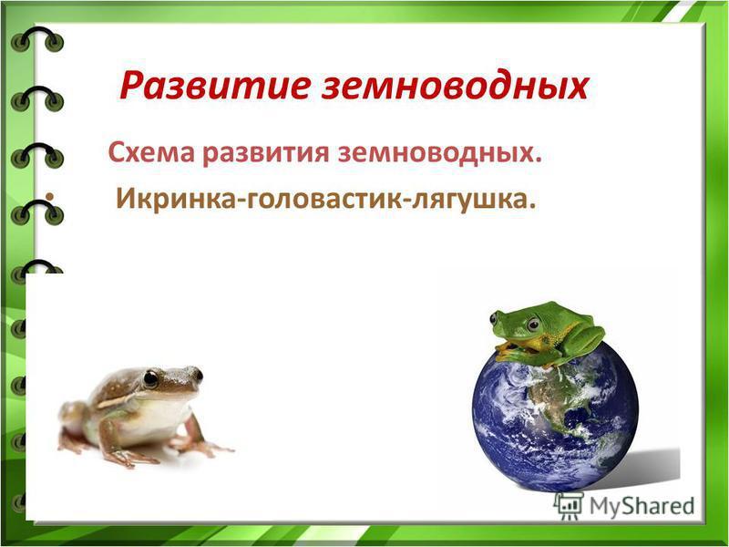 Развитие земноводных Схема