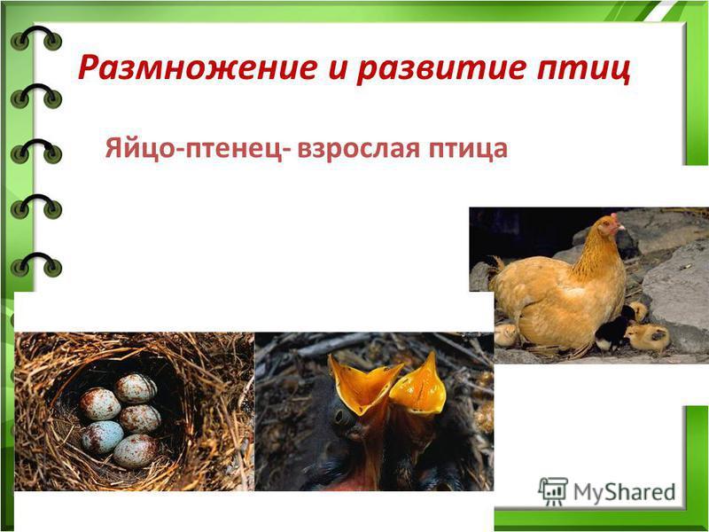 Размножение и развитие птиц Яйцо-птенец- взрослая птица