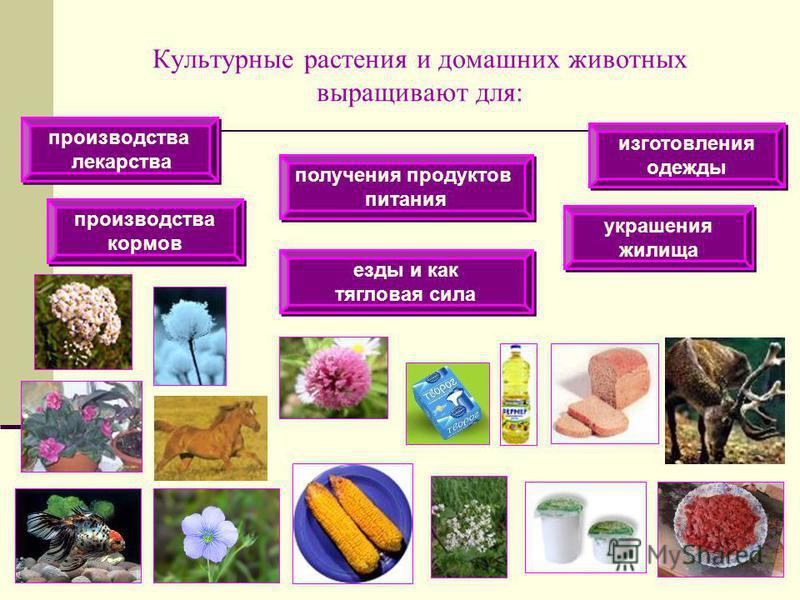 Культурные растения и домашних животных выращивают для: получения продуктов питания получения продуктов питания изготовления одежды изготовления одежды производства лекарства производства лекарства производства кормов производства кормов езды и как т