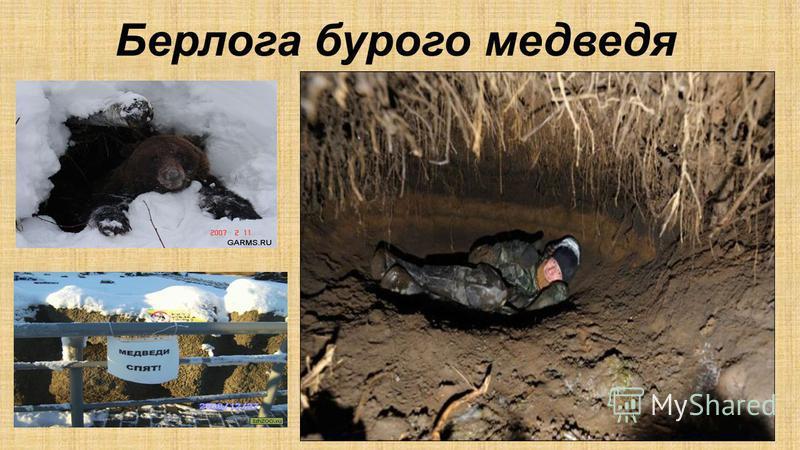 Берлога бурого медведя Берлога зимовочное укрытие медведя в естественных условиях. В редких случаях берлогами называют норы других млекопитающих. Берлога может располагаться в специально вырытой норе, дупле (у гималайского медведя), яме под корнем де