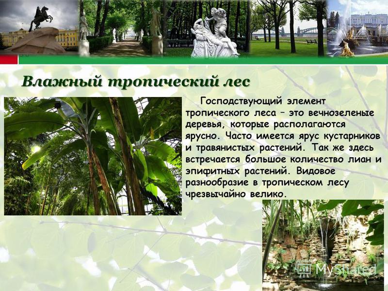 Влажный тропический лес Господствующий элемент тропического леса – это вечнозеленые деревья, которые располагаются ярусно. Часто имеется ярус кустарников и травянистых растений. Так же здесь встречается большое количество лиан и эпифитных растений. В