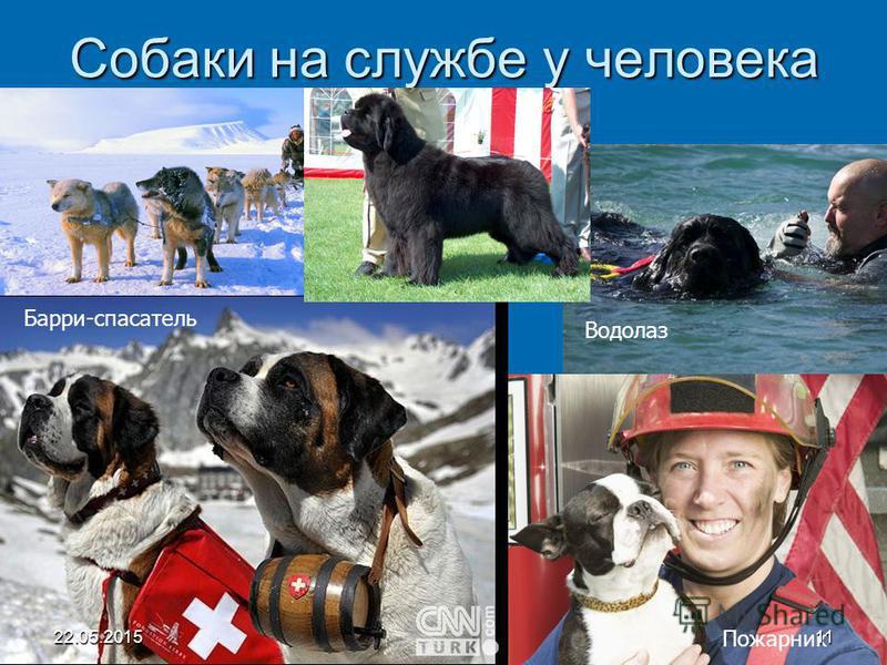 Собаки на службе у человека Барри-спасатель Водолаз Пожарник Барри-спасатель 22.05.201511
