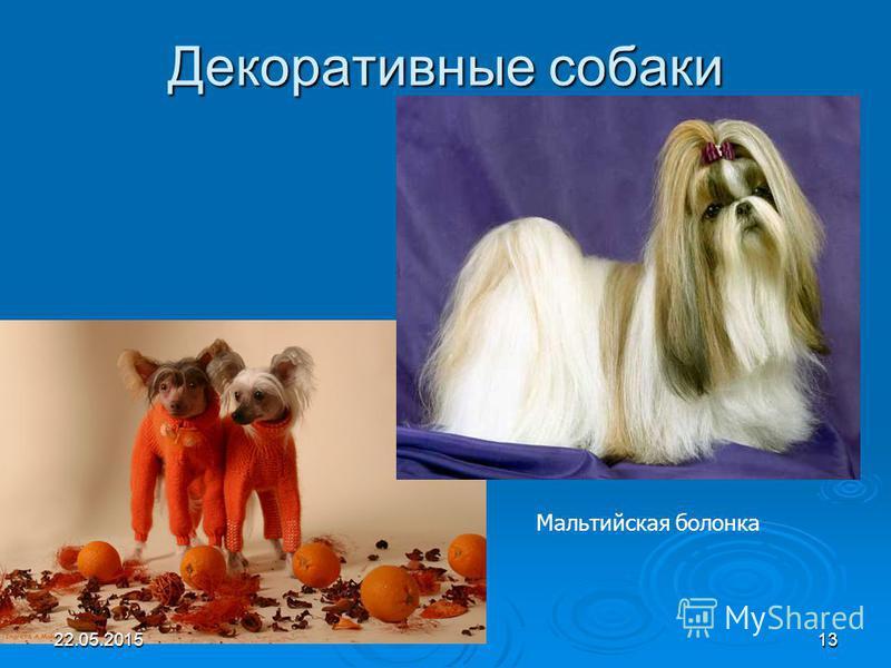 Декоративные собаки Мальтийская болонка 22.05.201513