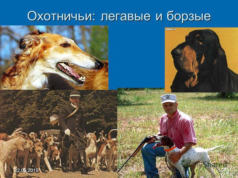 Охотничьи: легавые и борзые 22.05.201515