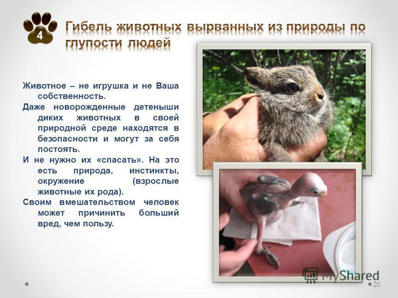 Животное – не игрушка и не Ваша собственность. Даже новорожденные детеныши диких животных в своей природной среде находятся в безопасности и могут за себя постоять. И не нужно их «спасать». На это есть природа, инстинкты, окружение (взрослые животные