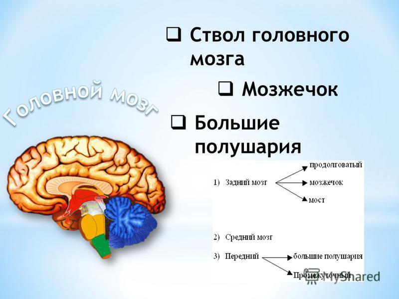Ствол головного мозга Мозжечок Большие полушария