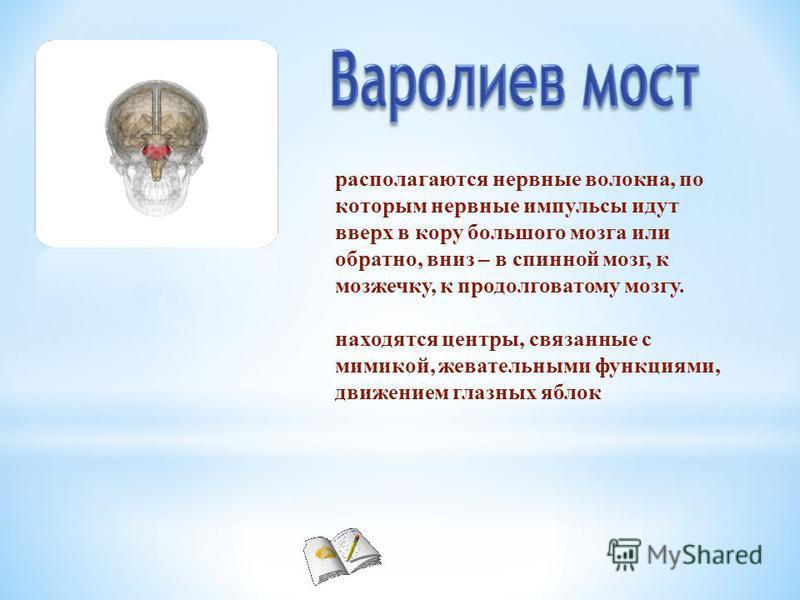 располагаются нервные волокна, по которым нервные импульсы идут вверх в кору большого мозга или обратно, вниз – в спинной мозг, к мозжечку, к продолговатому мозгу. находятся центры, связанные с мимикой, жевательными функциями, движением глазных яблок