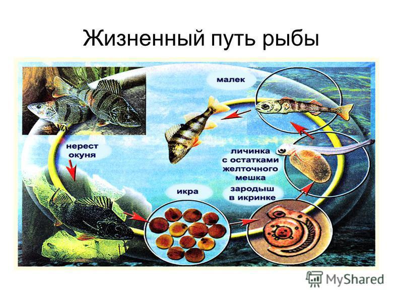 Жизненный путь рыбы
