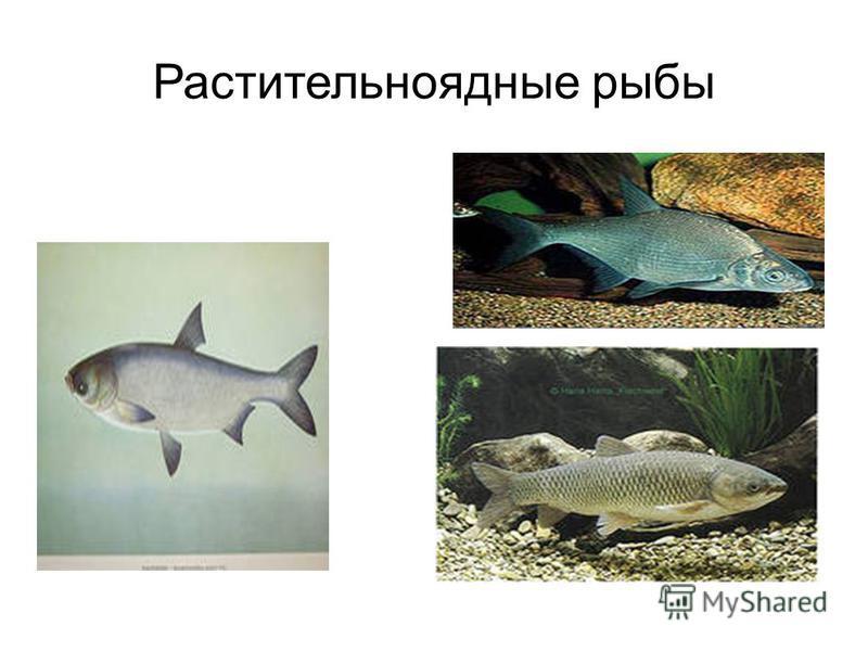 Растительноядные рыбы