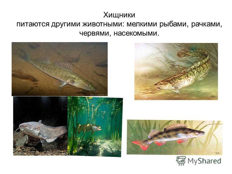 Хищники питаются другими животными: мелкими рыбами, рачками, червями, насекомыми.