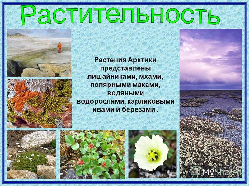 Растения Арктики представлены лишайниками, мхами, полярными маками, водяными водорослями, карликовыми ивами и березами.