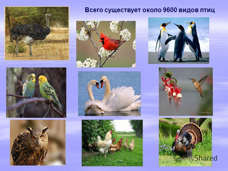 Всего существует около 9600 видов птиц