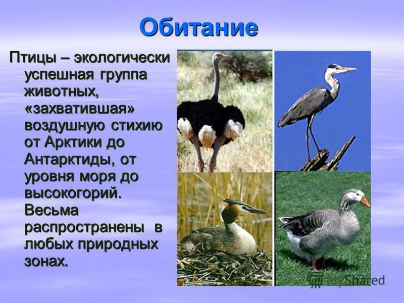 Обитание Птицы – экологически успешная группа животных, «захватившая» воздушную стихию от Арктики до Антарктиды, от уровня моря до высокогорий. Весьма распространены в любых природных зонах.