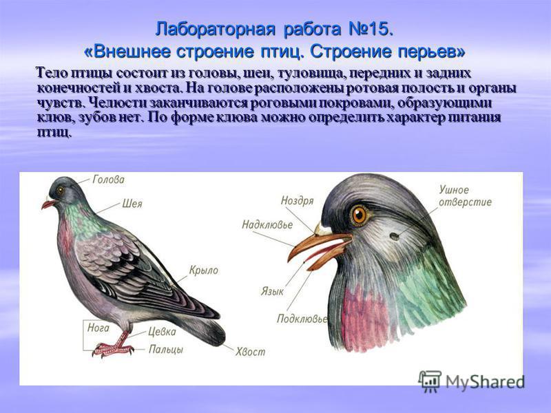 Лабораторная работа 15. «Внешнее строение птиц. Строение перьев» Тело птицы состоит из головы, шеи, туловища, передних и задних конечностей и хвоста. На голове расположены ротовая полость и органы чувств. Челюсти заканчиваются роговыми покровами, обр