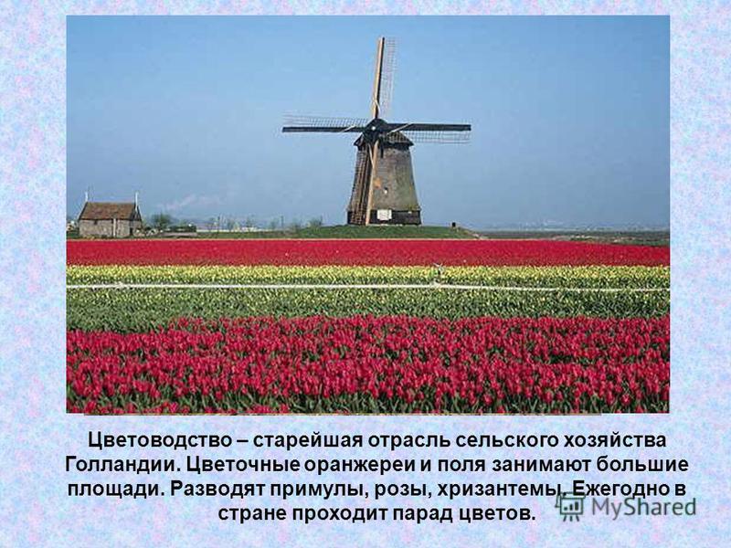 Цветоводство – старейшая отрасль сельского хозяйства Голландии. Цветочные оранжереи и поля занимают большие площади. Разводят примулы, розы, хризантемы. Ежегодно в стране проходит парад цветов.